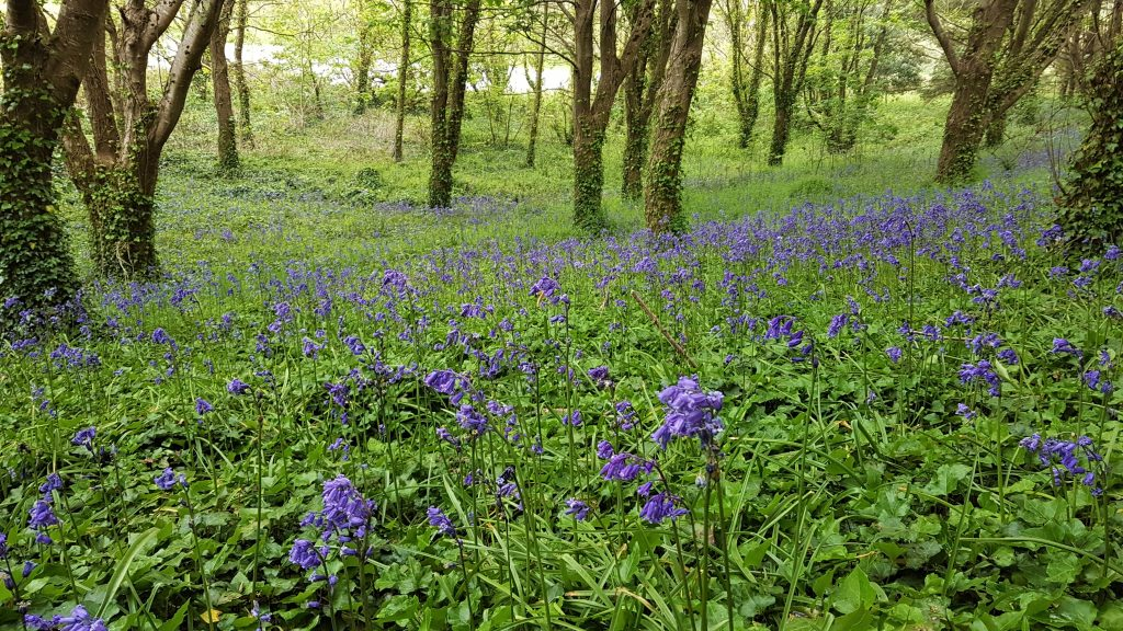 Cornish bluebell wood in spring
