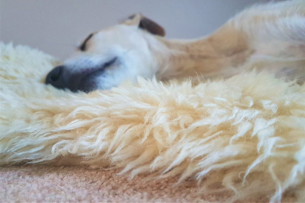 Sleeping lurcher dog on sheepskin rug
