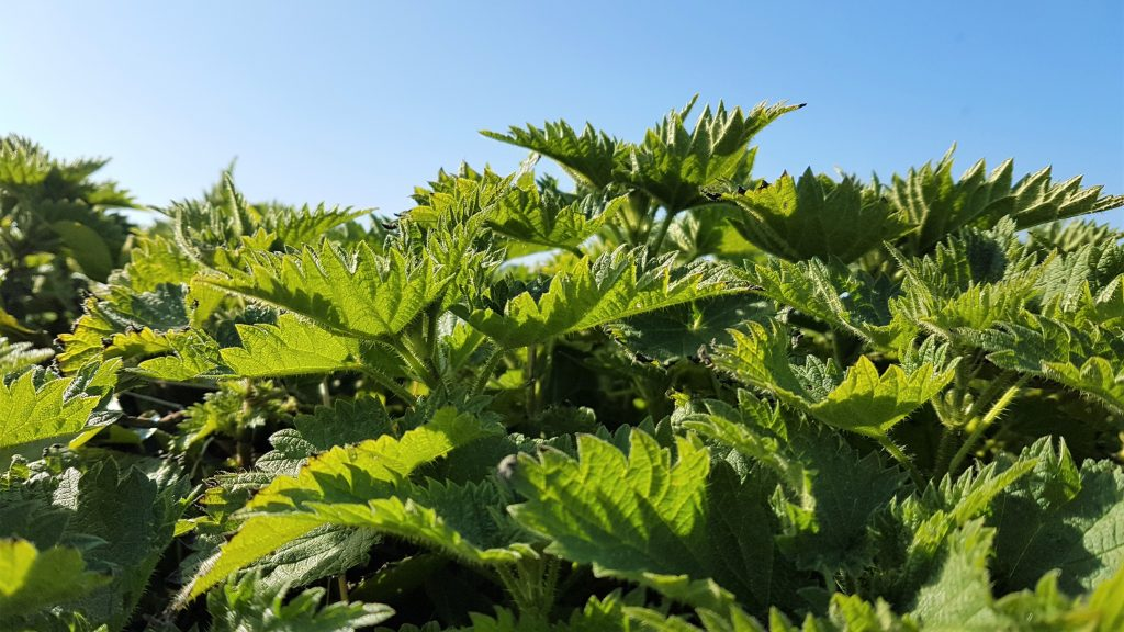 Patch of stinging nettles for food