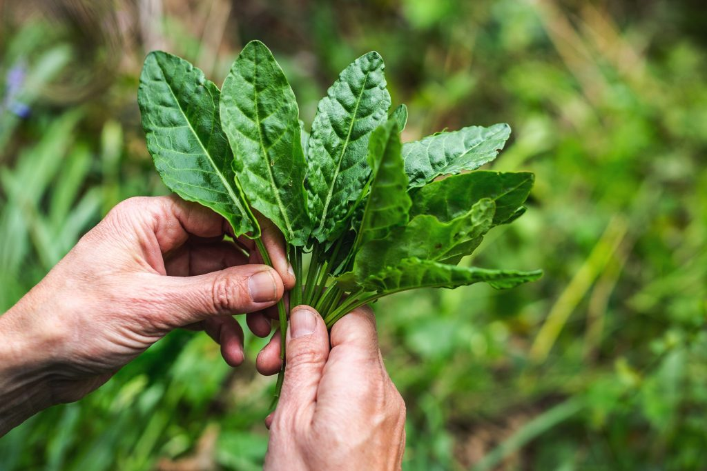 A handful of freshly picked sorrel leaves