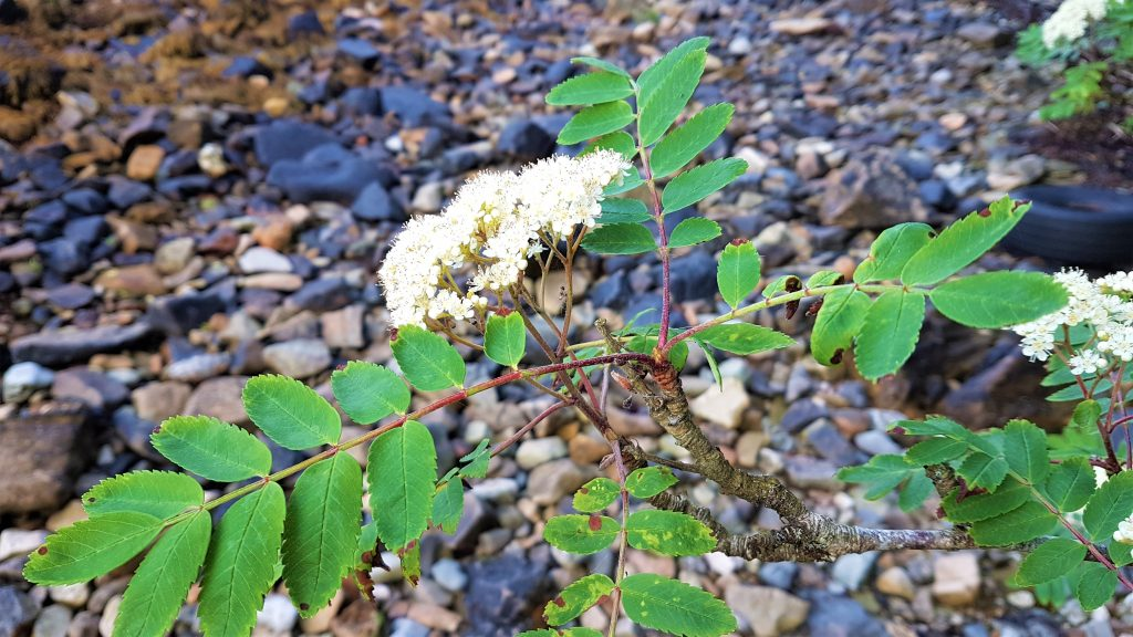 Rowan in flower on the foreshore of Arran Isle