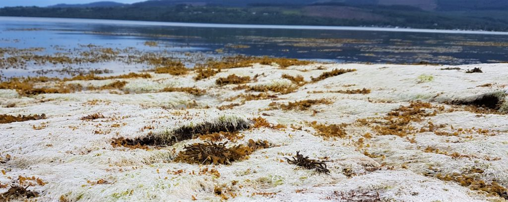Bleached white gutweed (Ulva intestinalis) seaweed
