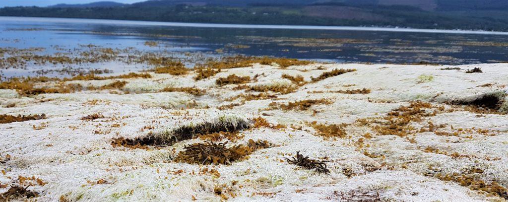Bleached white gutweed (Ulva intestinalis) seaweed
