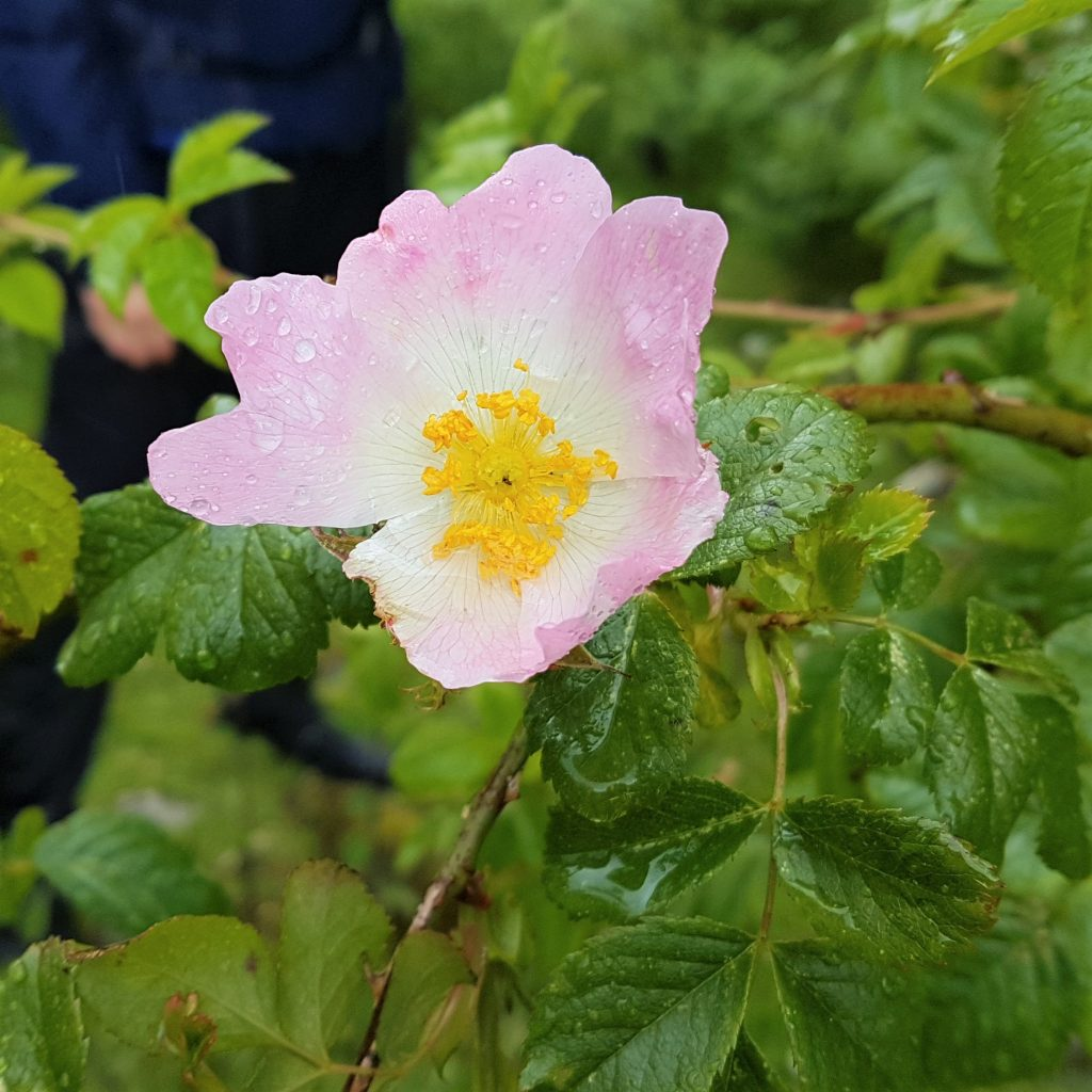 Dog rose in flower