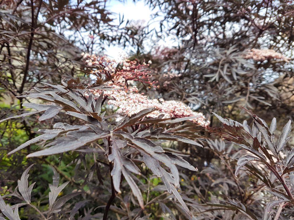 Pink elderflowers (black lace) growing in urban areas