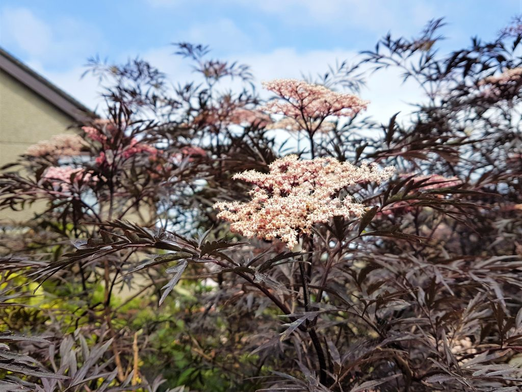 Flowering black beauty tree/shrub