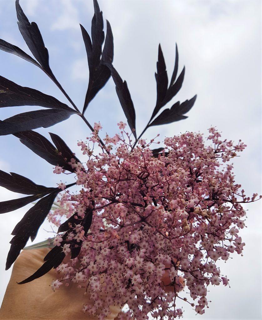 Holding up a pink elderflower and black lace leaf