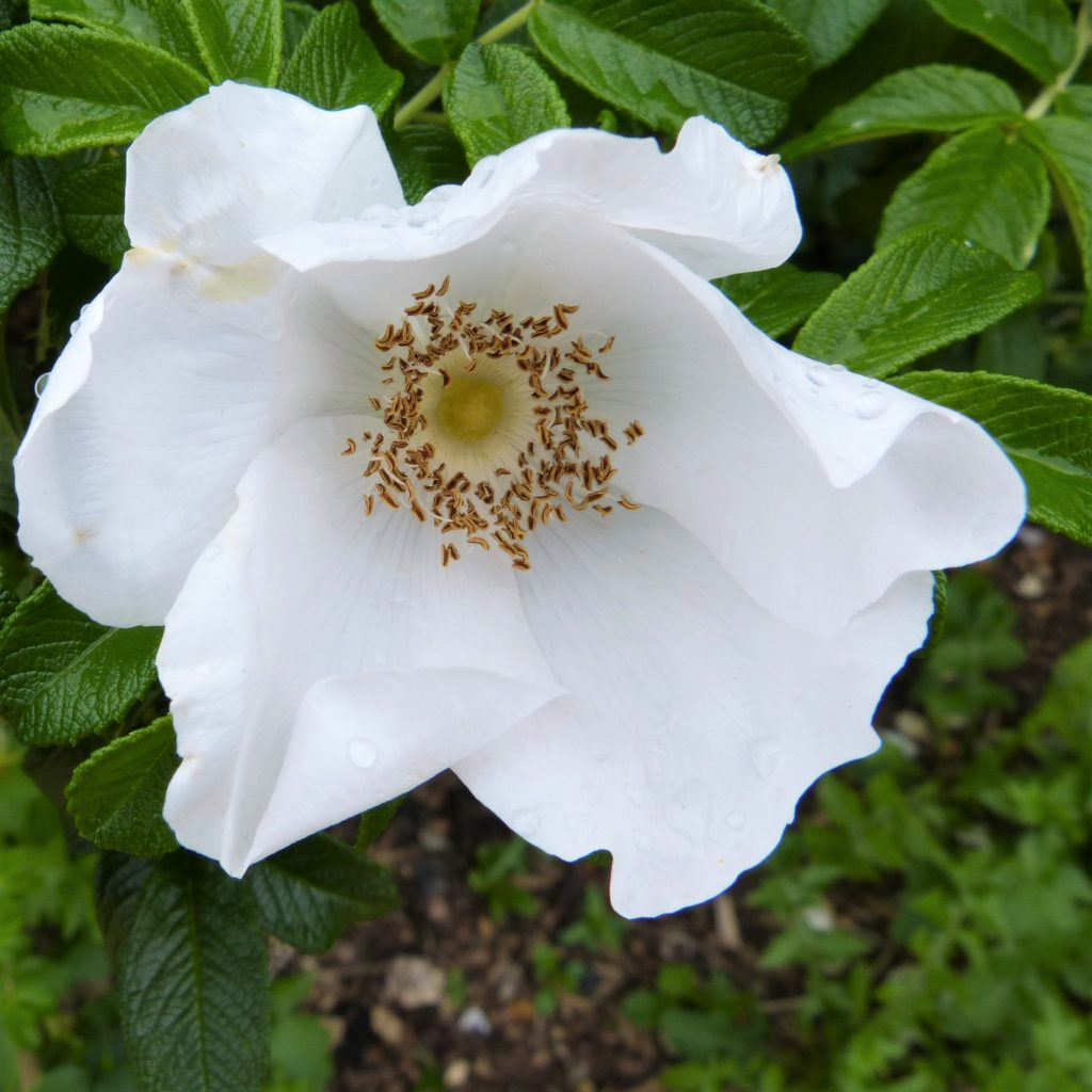 White Japanese Rose in flower