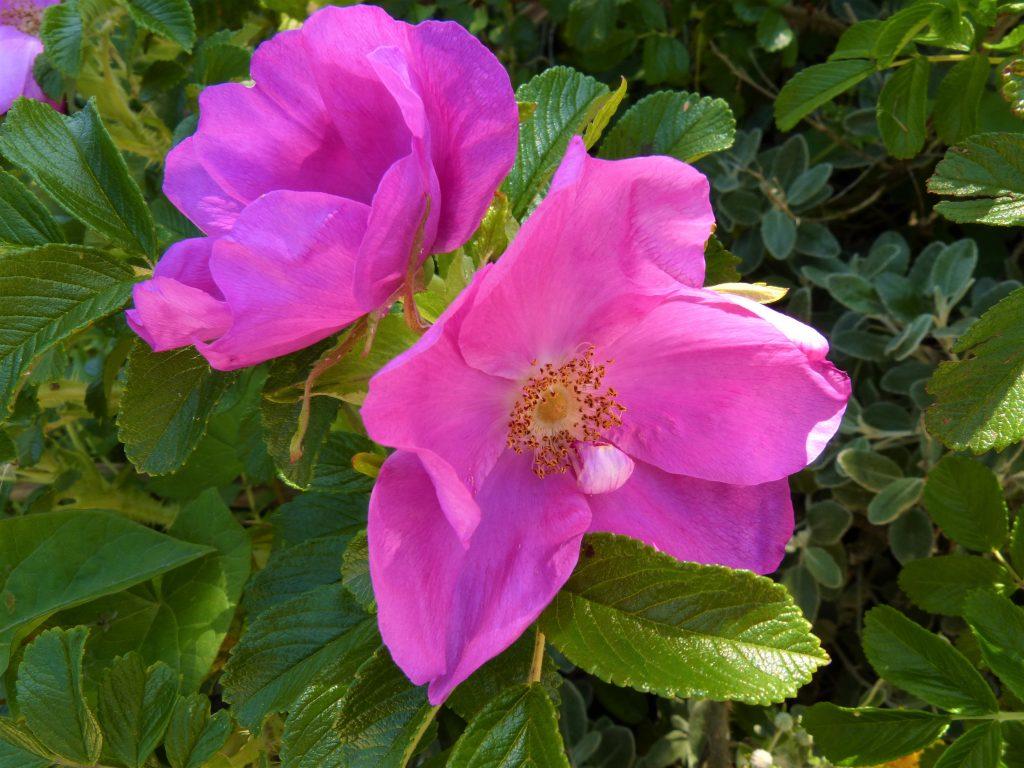 Flowering Japanese rose in Cornwall