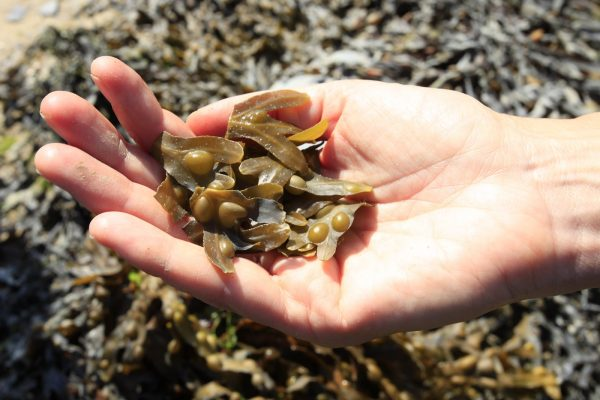 Handful of fresh bladder wrack tips