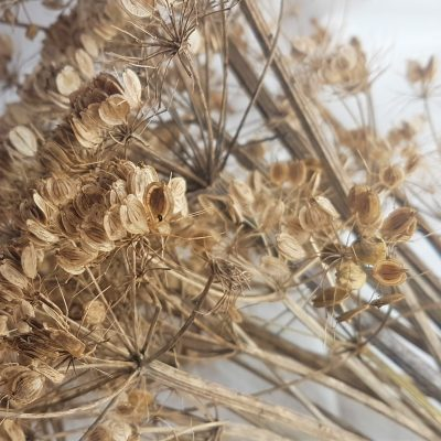 Bunch of dried common hogweed seed heads