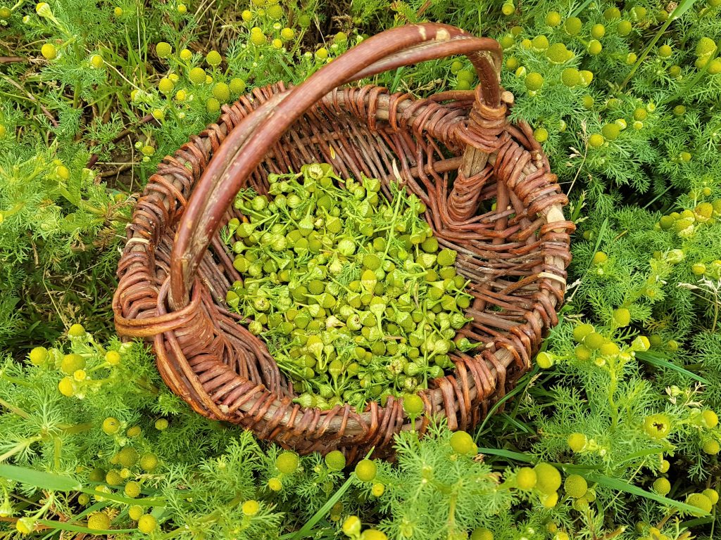 Pineapple weed collected in a basket