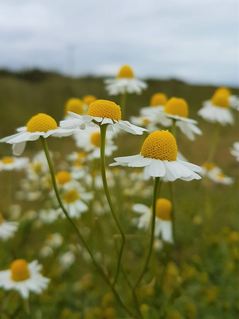 Scentless mayweed in flower