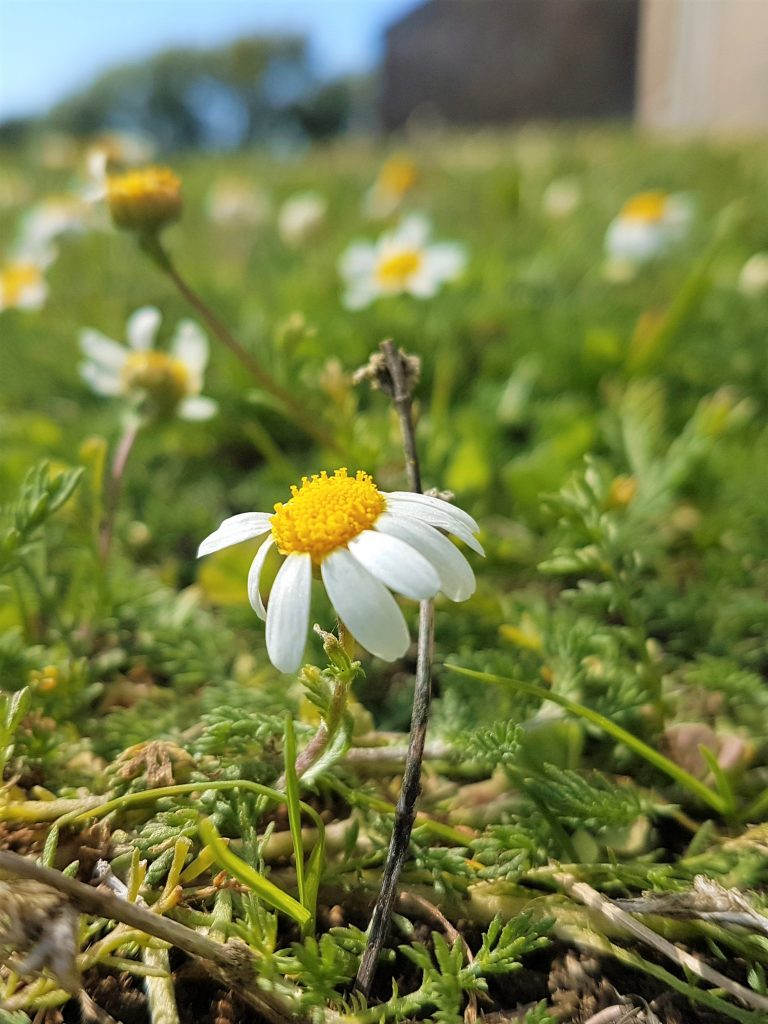 Flowering chamomile lawn