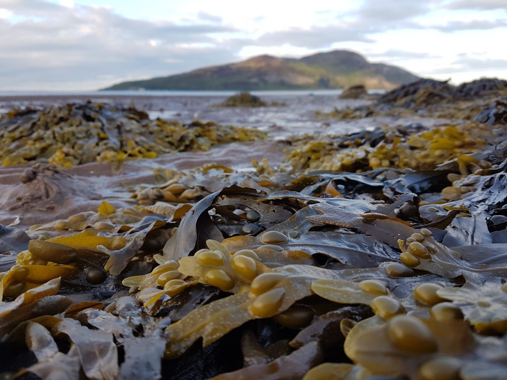 Bladder wrack growing on the shore in Scotland