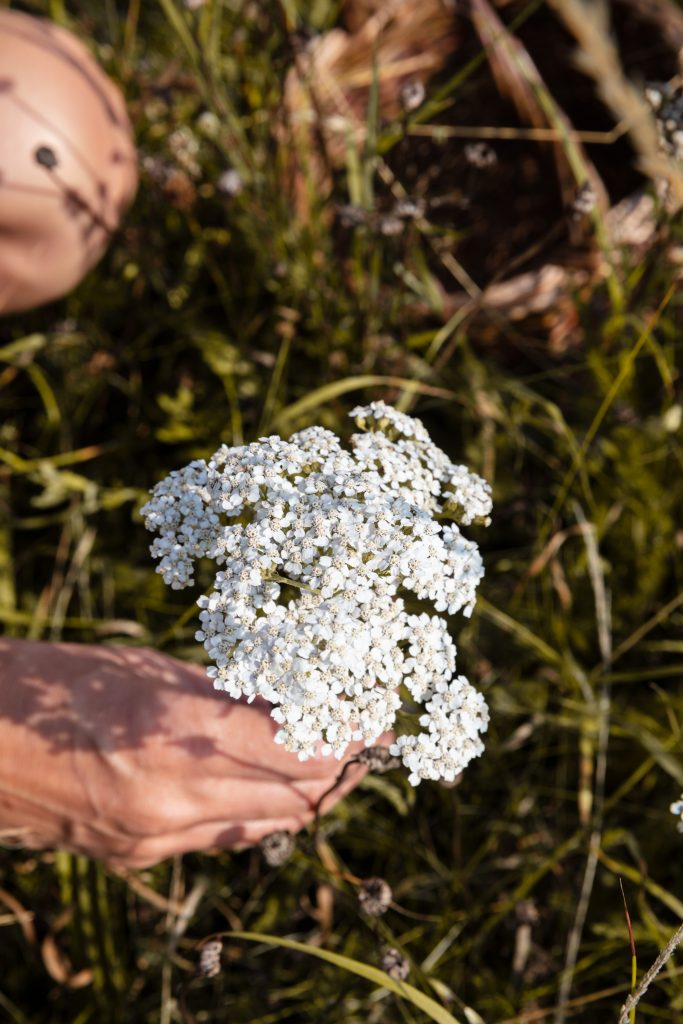 Picking yarrow flowers in summer on a foraging course