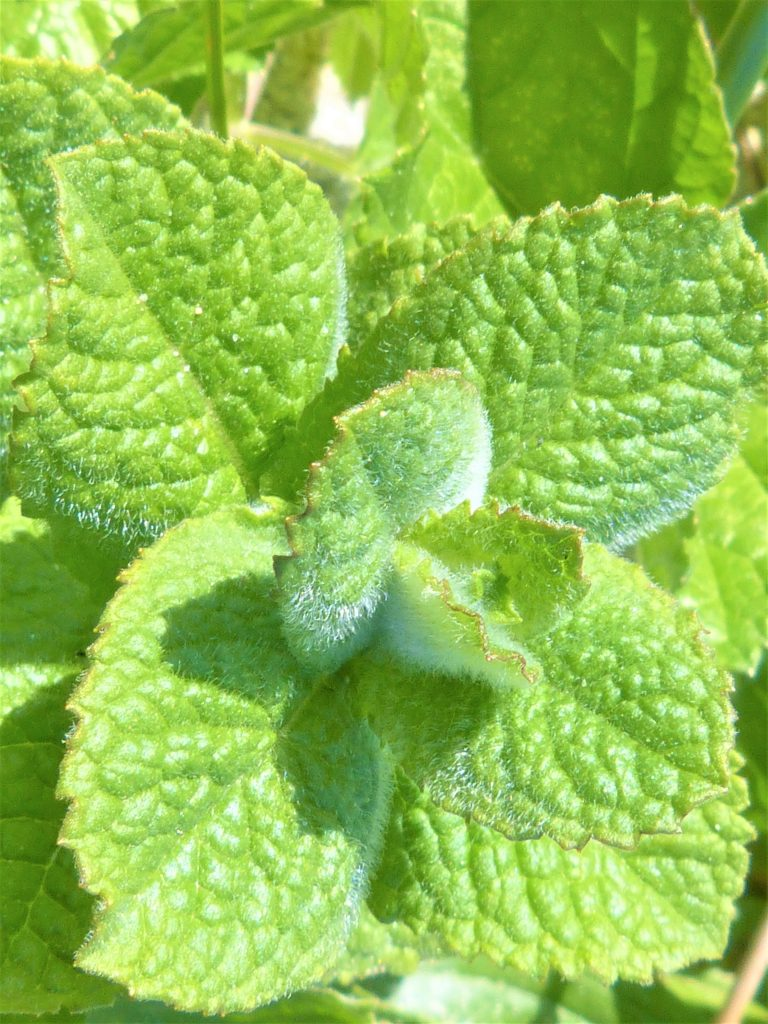 Close up of apple mint leaves