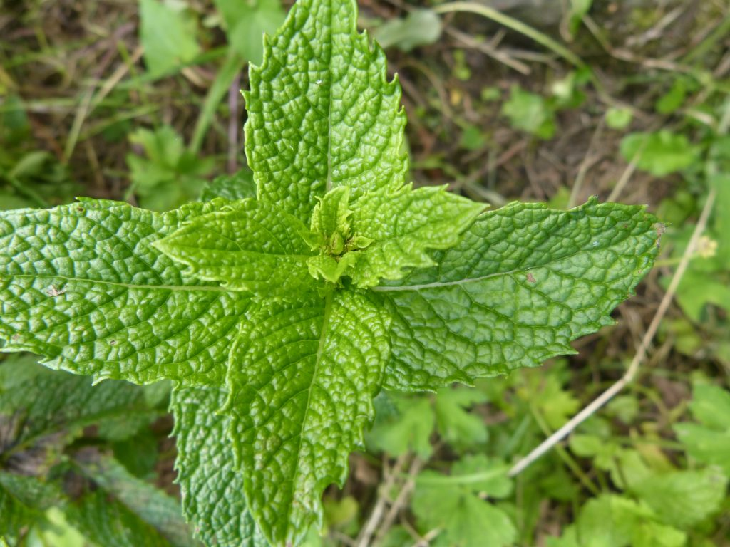 Close up of peppermint leaves