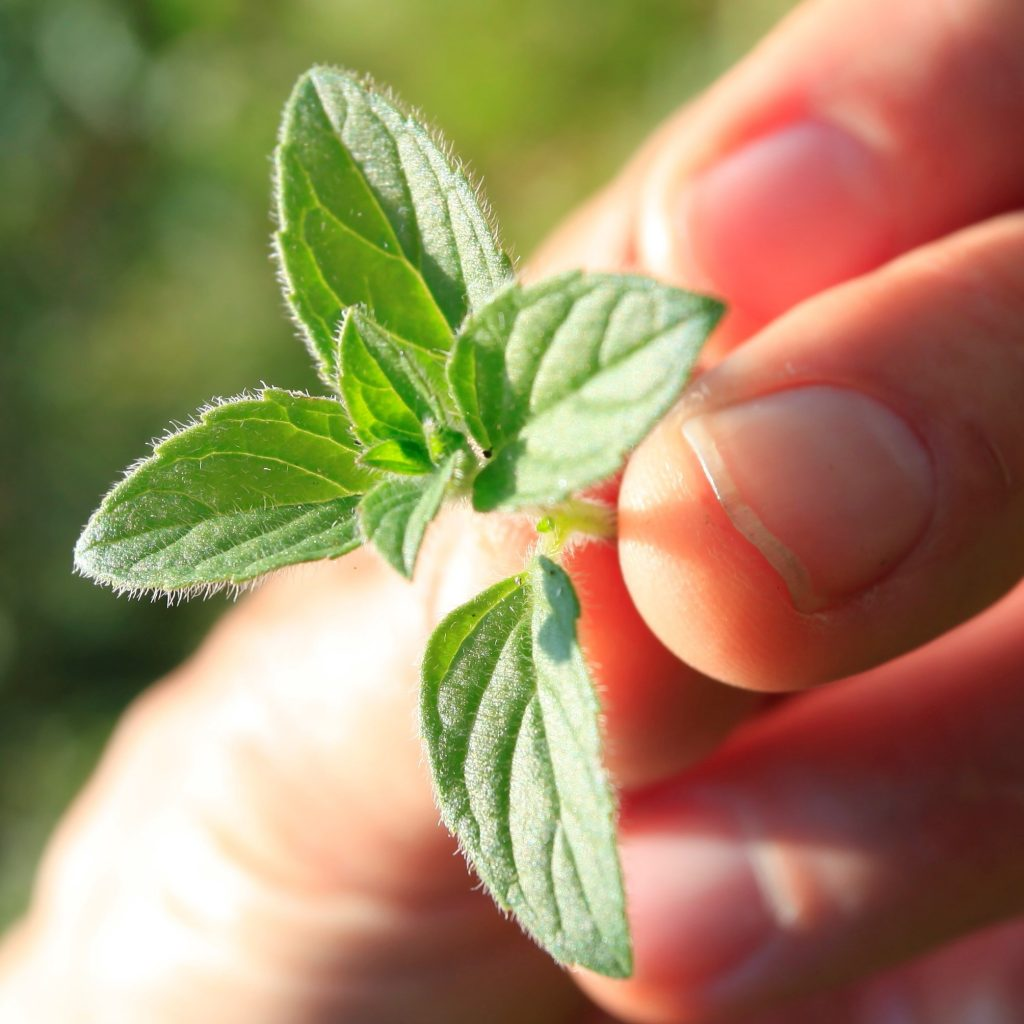 Wild water mint held in the hand