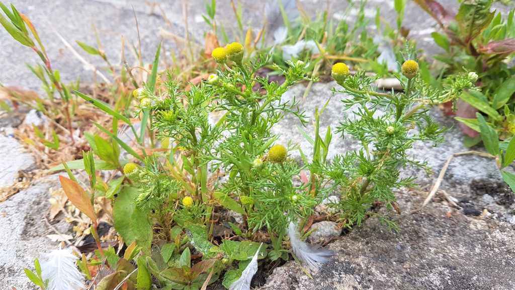 Pineapple weed growing thorugh the pavement