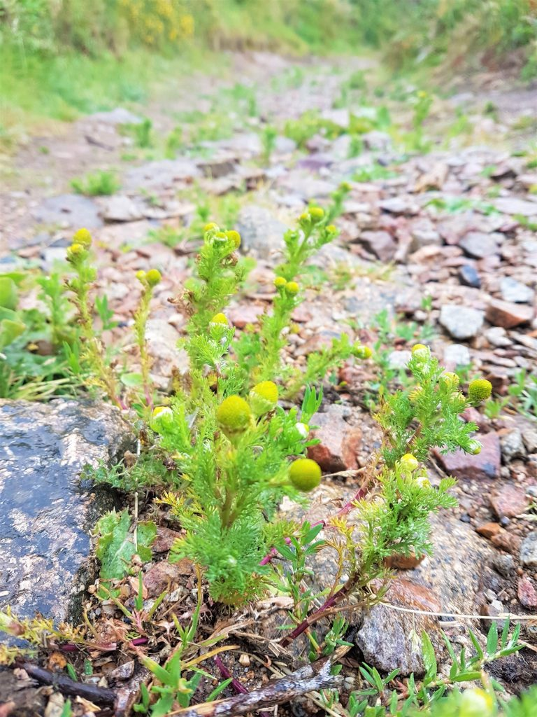 Lots of pineapple weed growing on a footpath
