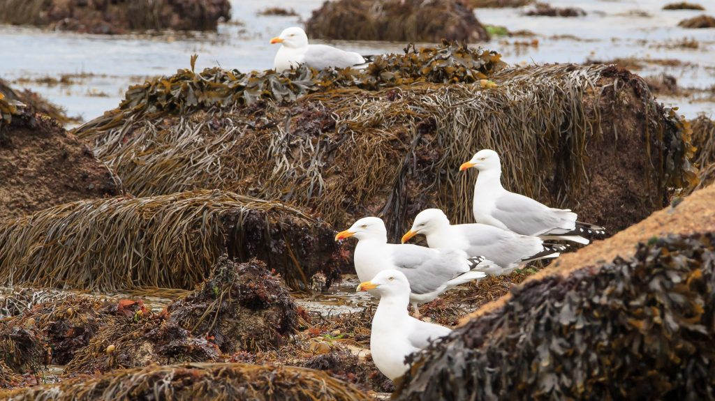 Bladder wrack and other seaweeds and seagulls