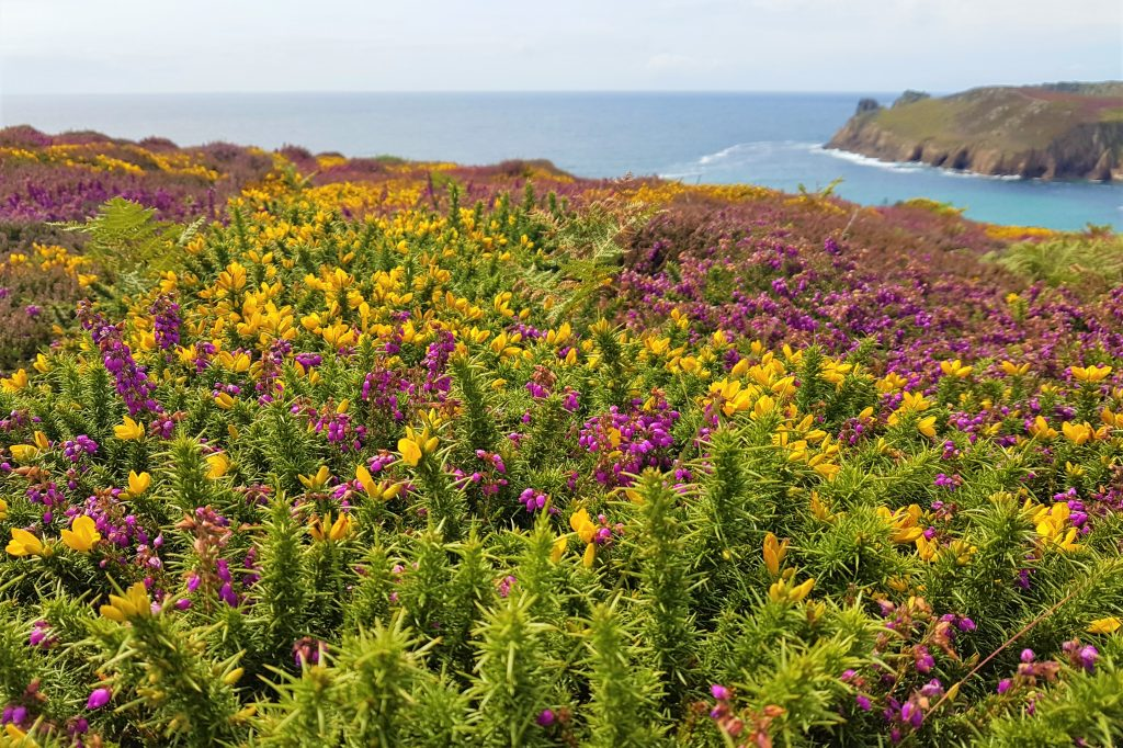 Gorse and heather flowers near the coast