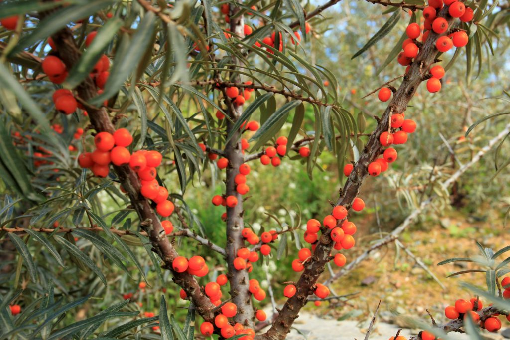 Abundant sea buckthorn berries on the plant