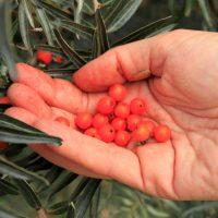 Handful of hand-piked sea buckthorn berries