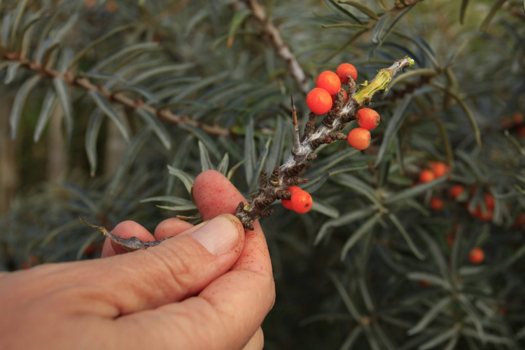 Orange sea buckthorn berries on the plant