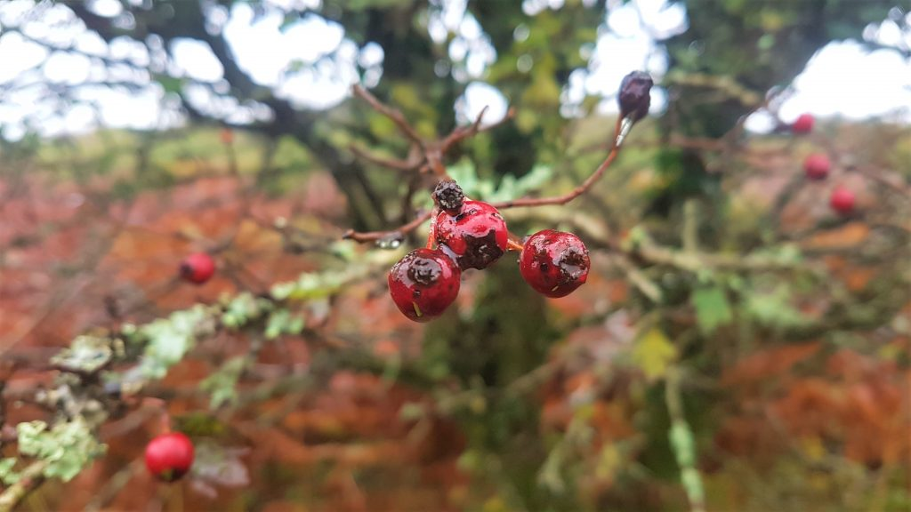 Haw berries on a tree, autumn colours