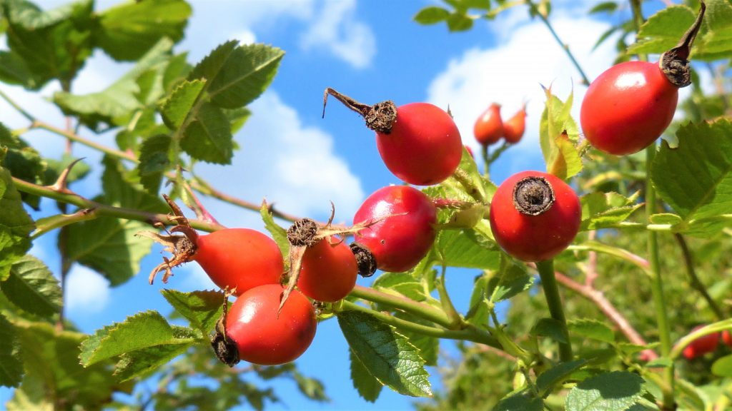 Bunch of rosehips growing