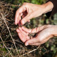 Handful of cleaver seeds
