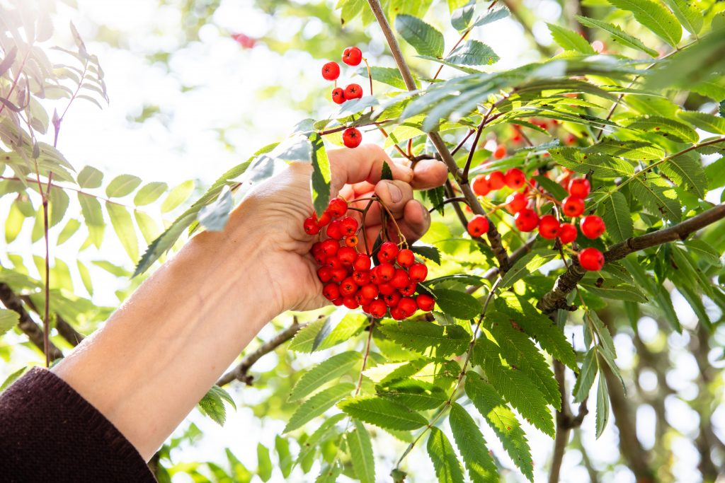 Picking a bunch of rowan berries from the tree