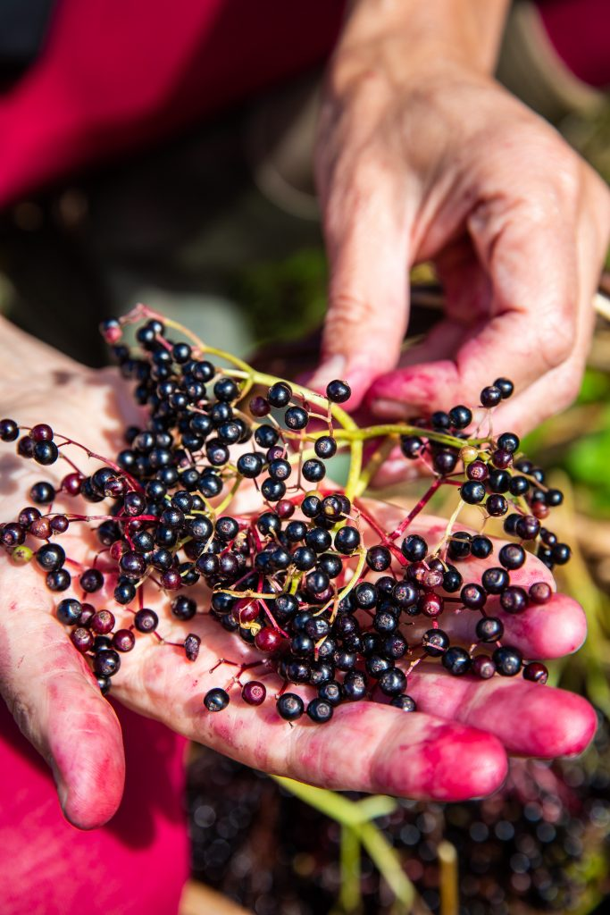 A cluster of elderberries in a hand