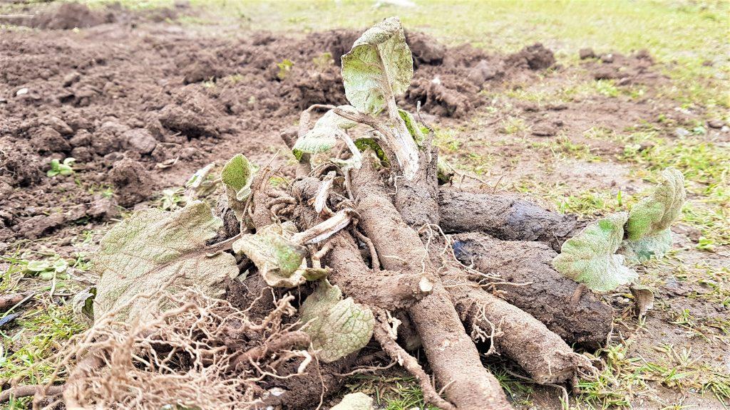 Pile of freshly dug up burdock roots