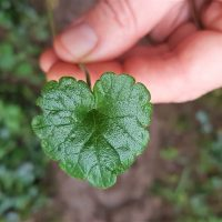 Holding a single ground ivy leaf