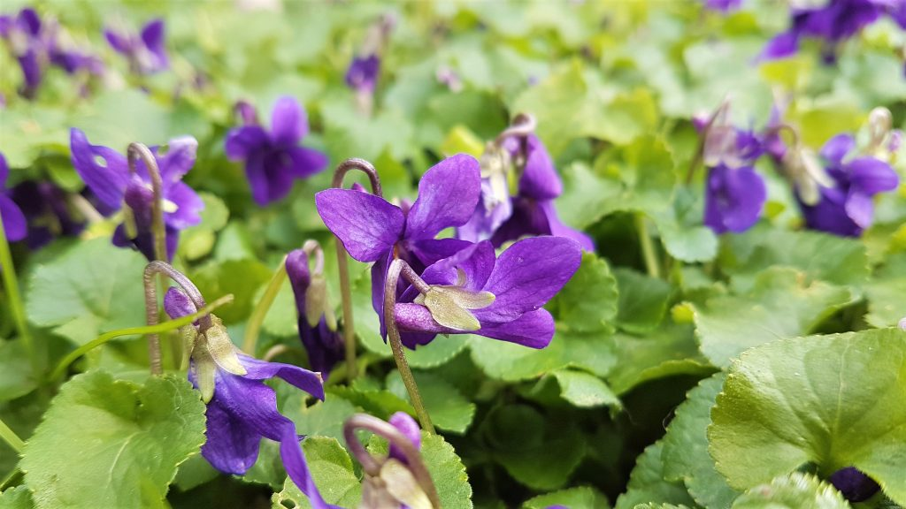 Carpet of sweet violets on a foraging course in Cornwall