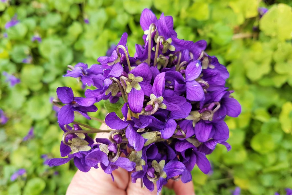 Bunch of edible violets from a foraging course