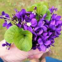 Gathering a posy of violets on a foraging course