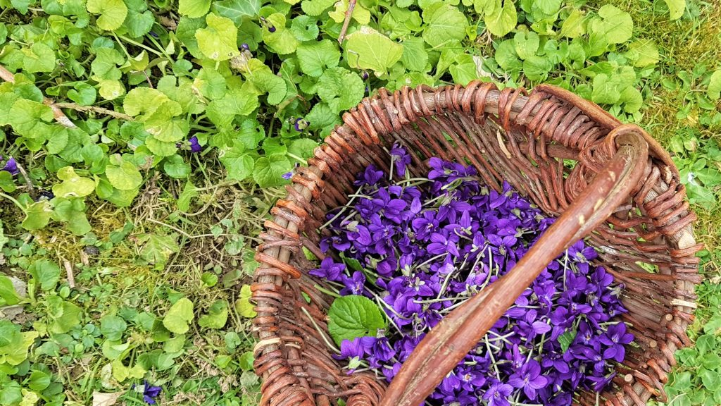 Basket of wild violets on a foraging course in Cornwall