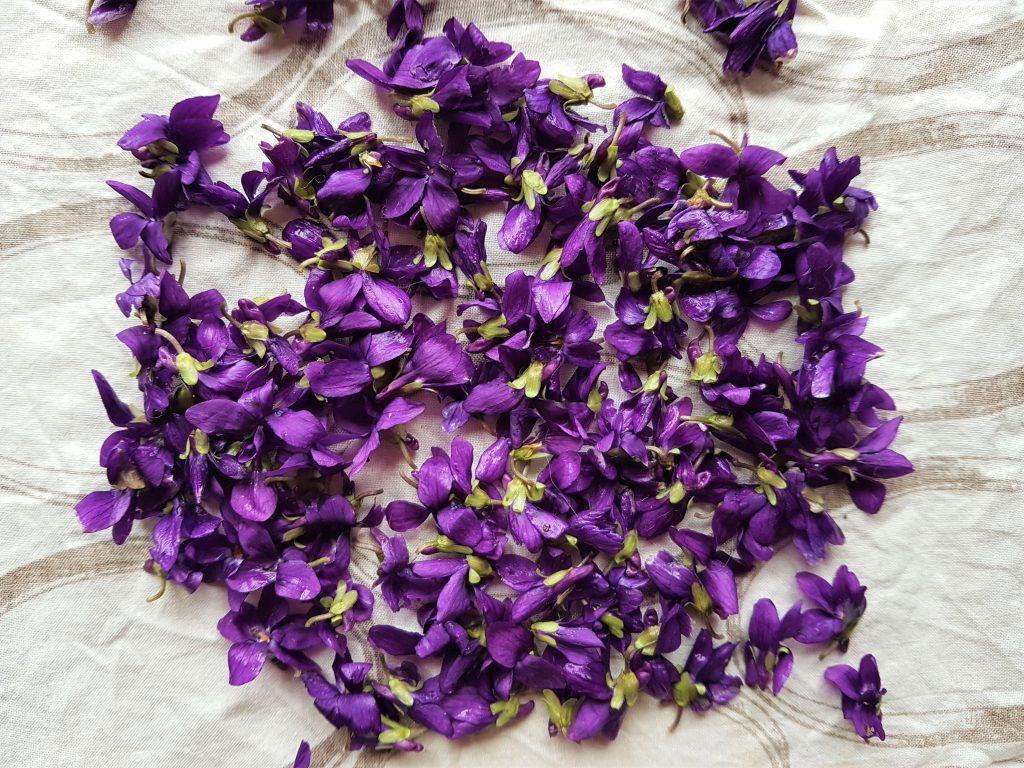Foraged wild violets for making violet infused recipes