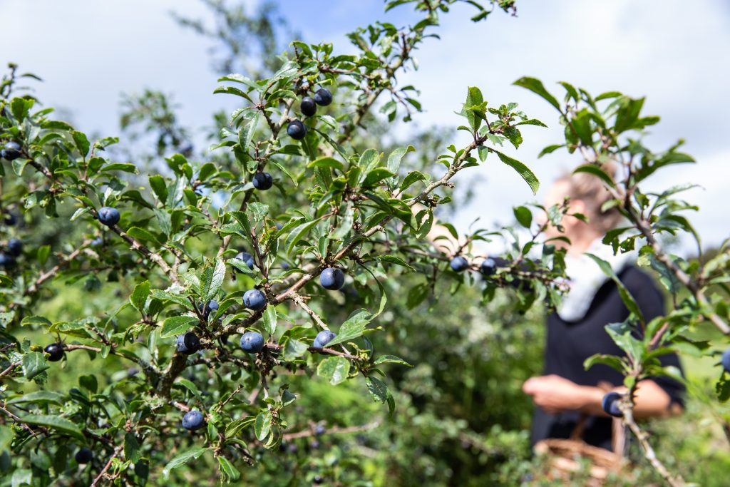 Picking sloes on a foraging walk in Cornwall