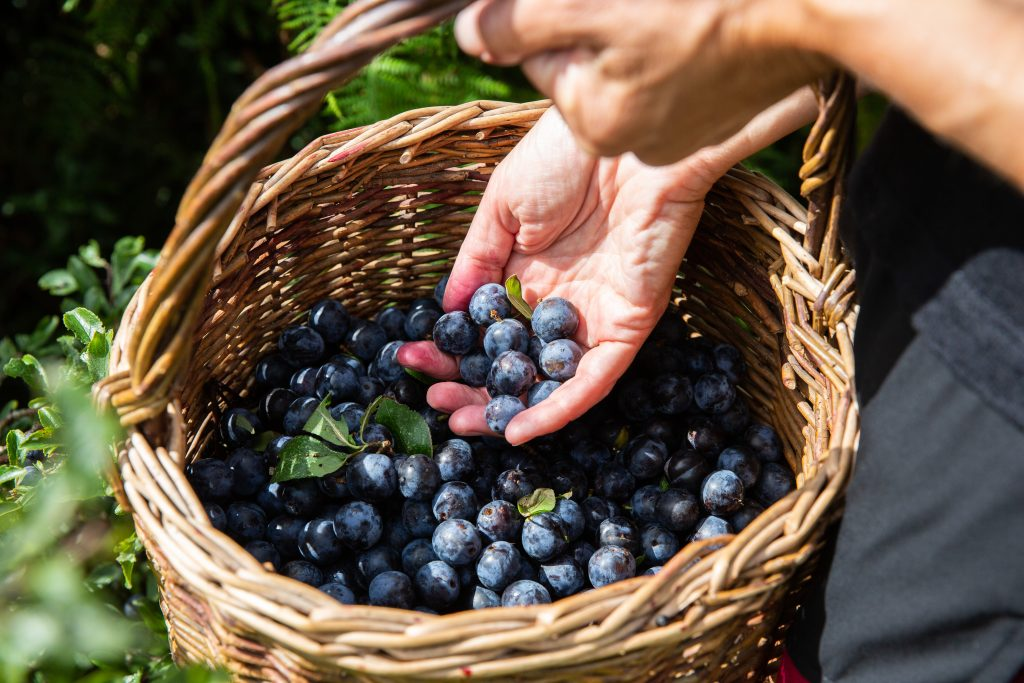 A basket of sloe fruits on a foraging course