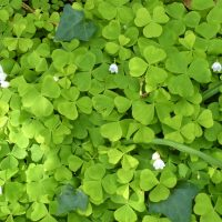 Wood sorrel on a foraging course in Cornwall
