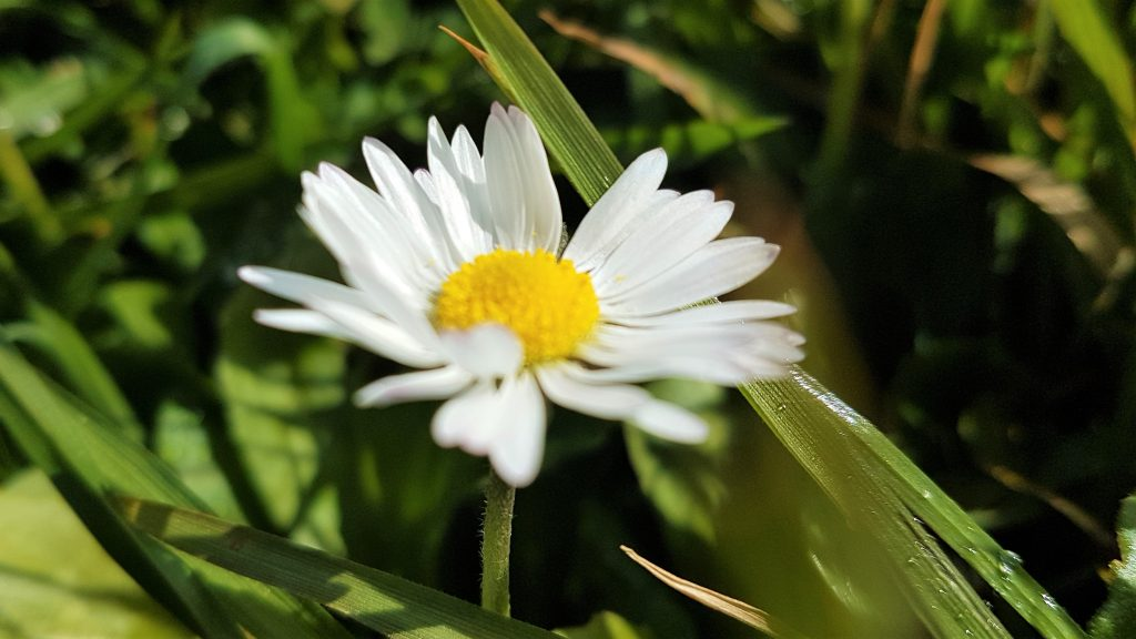 A single, common daisy flower on a foraging course