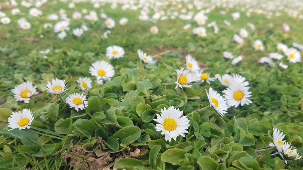 Daisies on a foraging walk in Cornwall
