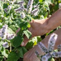 Picking wild round-leaved mint on a foraging course in Cornwall