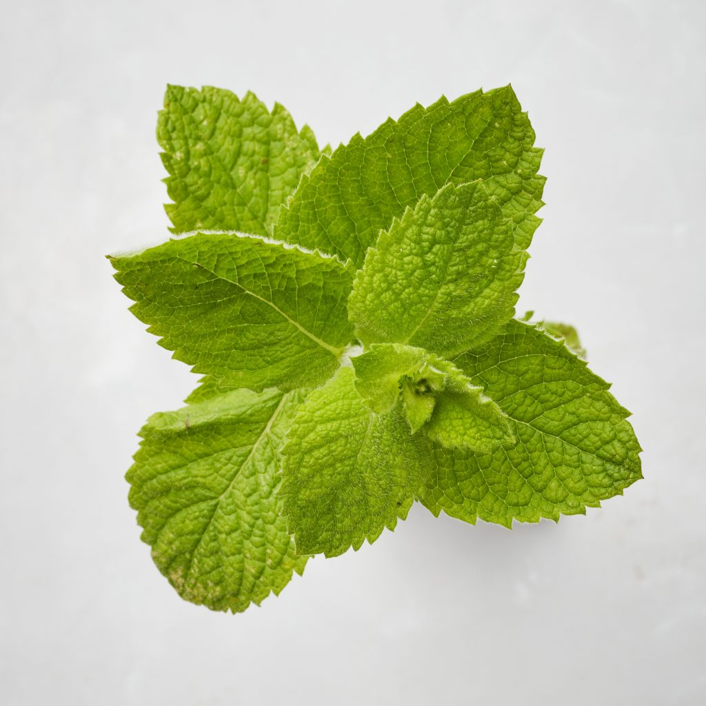 Round leaved apple mint (Mentha suaveolens)