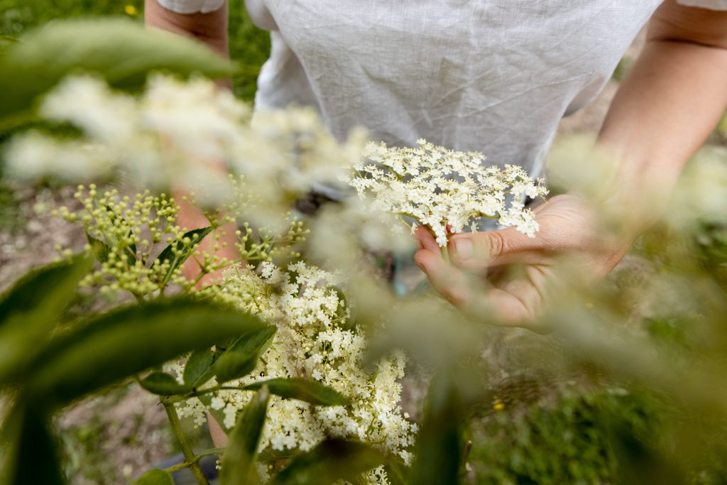 Summer foraging course picking elderflowers with Rachel Lambert